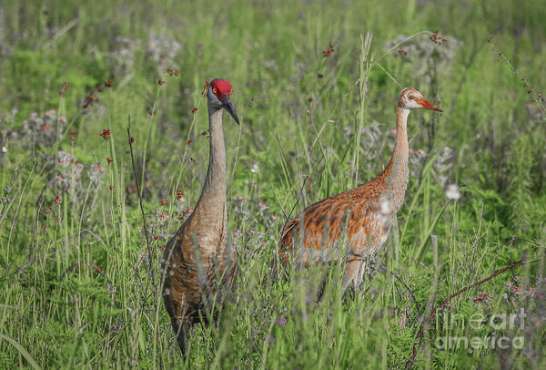 Photograph - Adult And Juvenile by Tom Claud