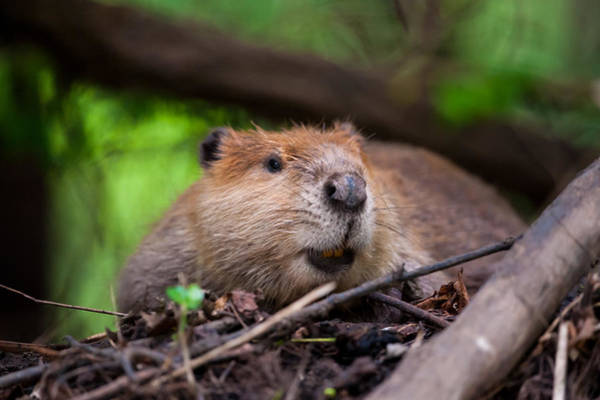Photograph - Adult Beaver #1 by Jeff Phillippi