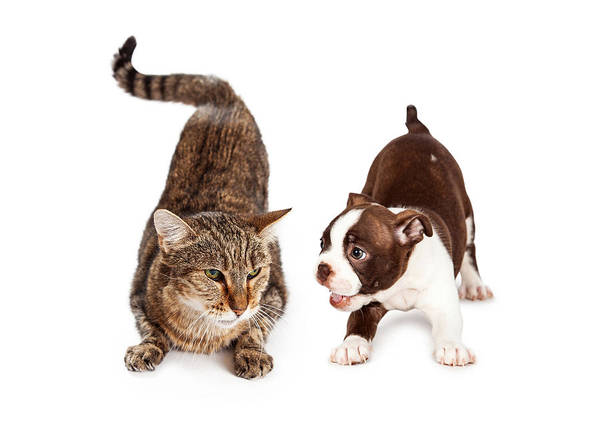 Unhappy Photograph - Adult Cat Annoyed With Playful Puppy by Susan Schmitz