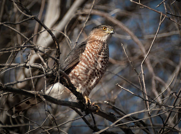 Wall Art - Photograph - Adult Coopers Hawk by Rick Mosher