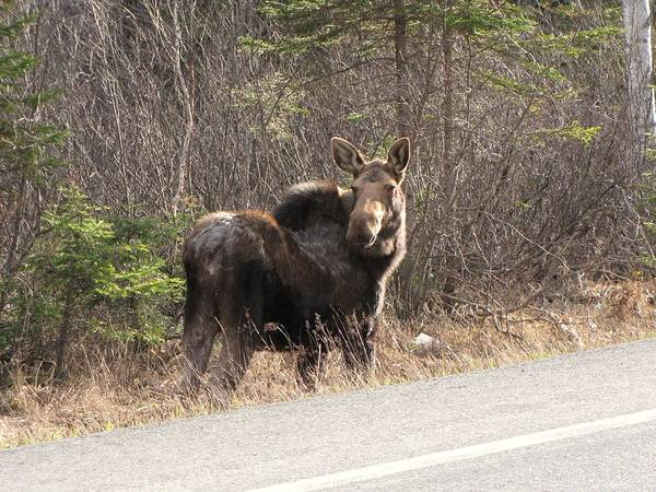 Aroostook County Photograph - Adult Cow Moose In Northern Maine by Gordon P Glew