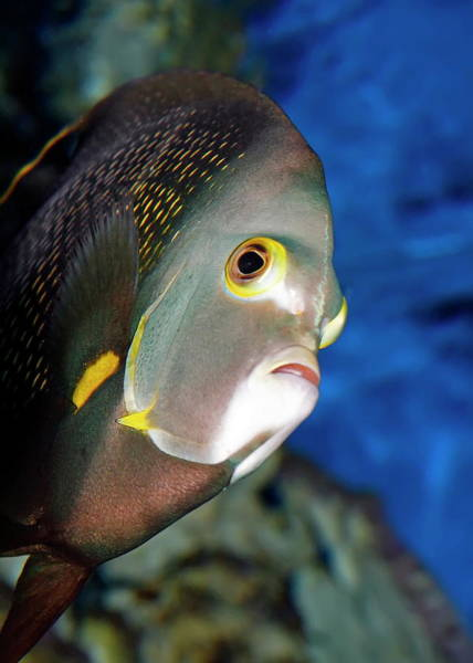 Nfs Photograph - Adult French Angelfish by Daniel Caracappa
