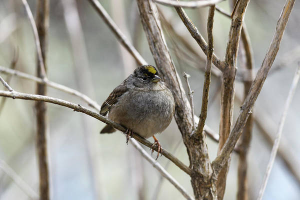 Photograph - Adult Golden-crowned Sparrow by Robert Potts