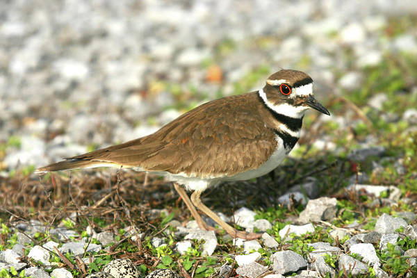 Photograph - Adult Killdeer by Ericamaxine Price