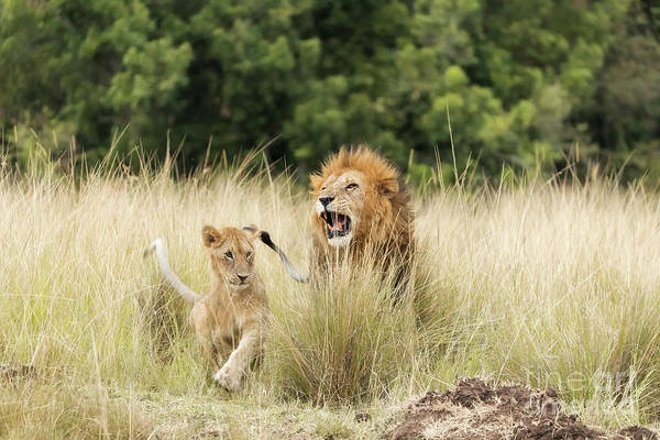 Lion Cubs Photograph - Adult Lion And Cub In The Masai Mara by Jane Rix