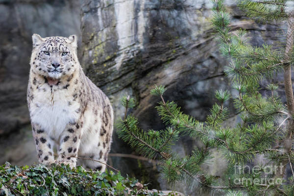 Wall Art - Photograph - Adult Snow Leopard Standing On Rocky Ledge by Jane Rix