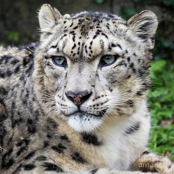 Wall Art - Photograph - Adult Snow Leopard Portrait by Jane Rix