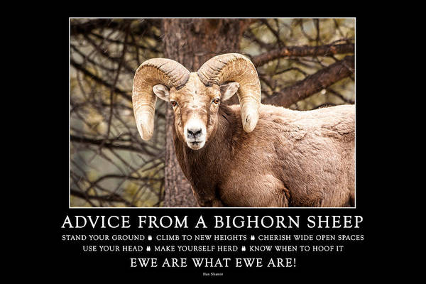 Photograph - Advice From A Bighorn Sheep by Teri Virbickis
