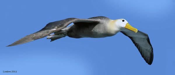 Waved Albatross Wall Art - Photograph - Aerial Albatross by Larry Linton