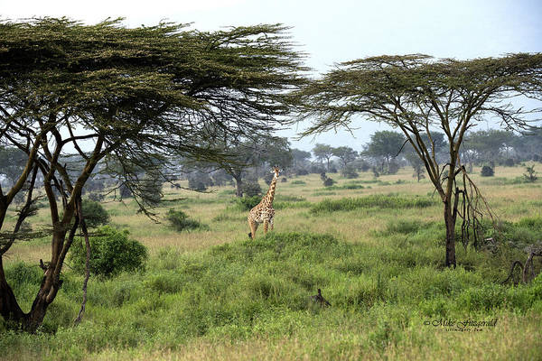 Photograph - Africa by Mike Fitzgerald