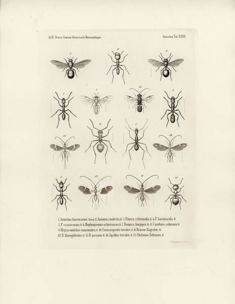 Drawing - African Ants by W Wagenschieber