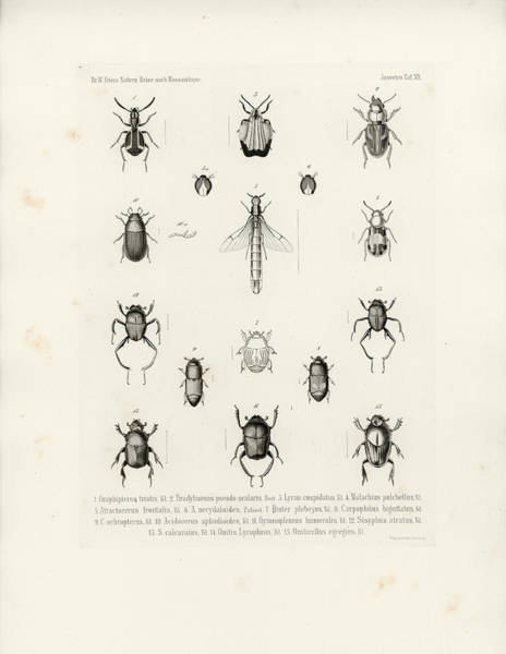 Drawing - African Beetles, Including Dung Beetles by W Wagenschieber