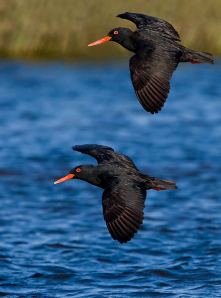 Wall Art - Photograph - African Black Oystercatchers by Basie Van Zyl