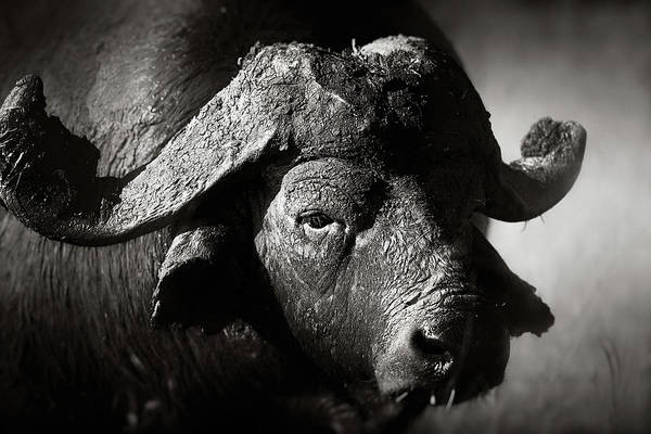 Close-up Photograph - African Buffalo Bull Close-up by Johan Swanepoel