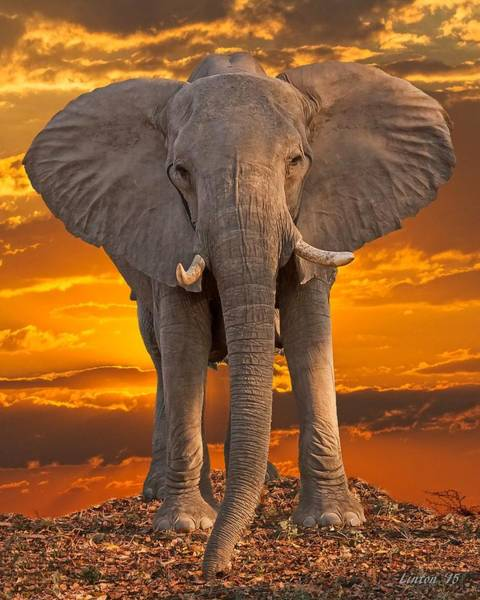Photograph - African Bull Elephant At Sunset by Larry Linton