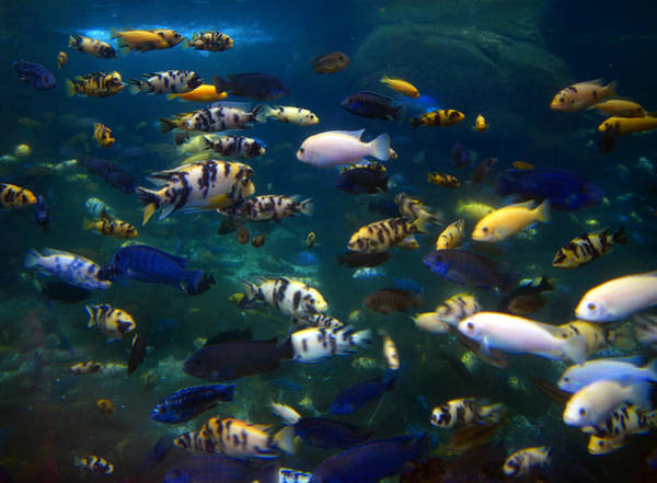 Wall Art - Photograph - African Cichlids 2 by Pat Turner