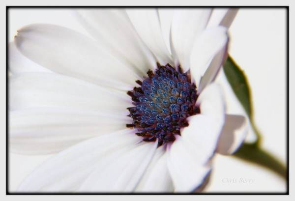 Wall Art - Photograph - African Daisy  Sky And Ice by Chris Berry
