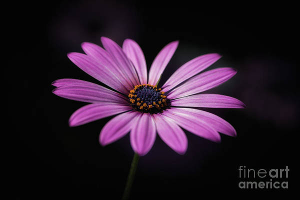 Photograph - African Daisy Glow by Andrea Silies