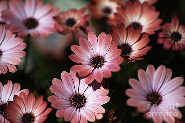African Daisy Zion Red Art Print