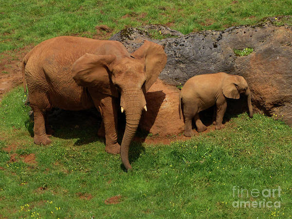 Photograph - African Elephant And Calf by Phil Banks