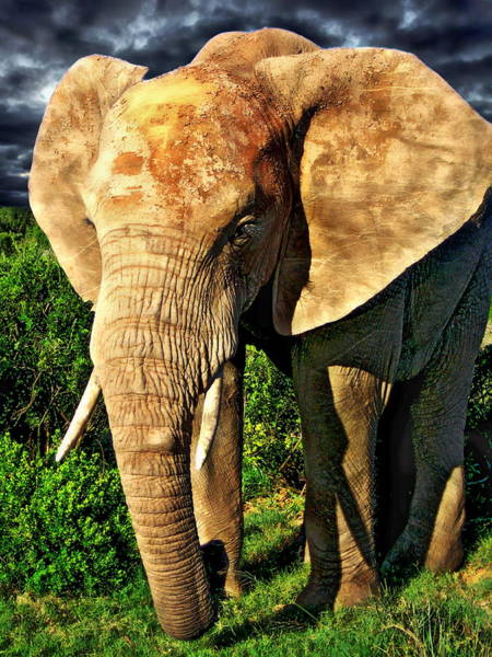 Photograph - African Elephant by Anthony Dezenzio