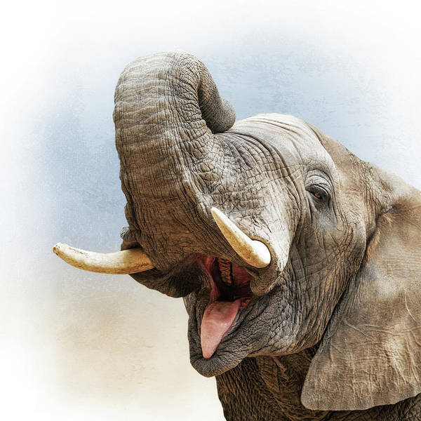 Wall Art - Photograph - African Elephant Closeup Square by Susan Schmitz