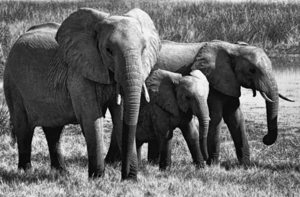 Wall Art - Photograph - African Elephant Family by Daniel Hagerman