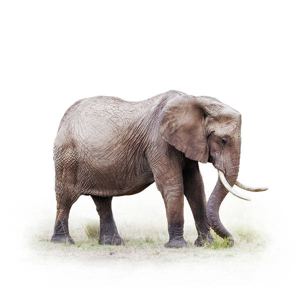 Wall Art - Photograph - African Elephant Grazing - Isolated On White by Susan Schmitz