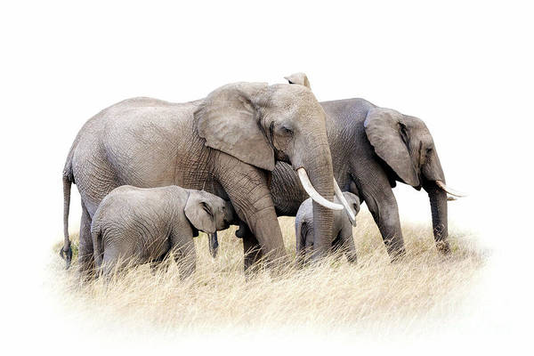 Wall Art - Photograph - African Elephant Group Isolated by Jane Rix