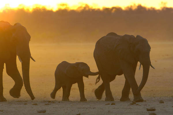 Photograph - African Elephant Loxodonta Africana by Pete Oxford