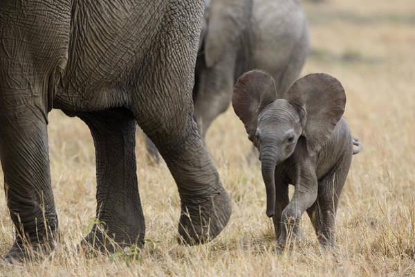 Maasai Photograph - African Elephant Mother And Under 3 by Suzi Eszterhas