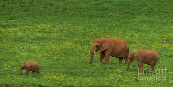 Photograph - African Elephants - Cabarceno by Phil Banks