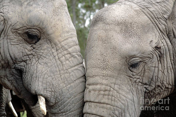 Partner Photograph - African Elephants by Neil Overy