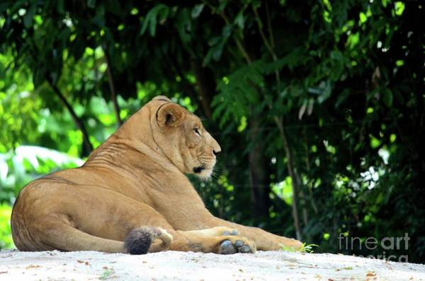 Photograph - African Female Lion Relaxes And Rests To Beat Heat by Imran Ahmed