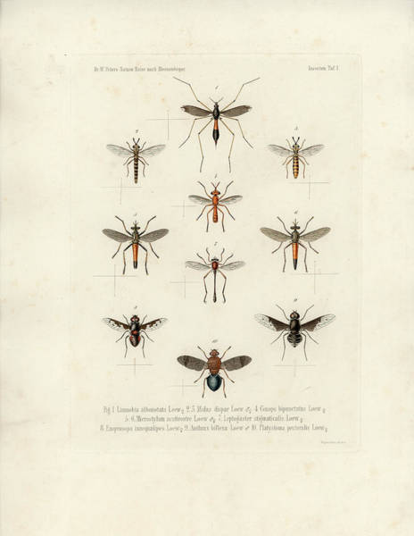 Drawing - African Flies by W Wagenschieber