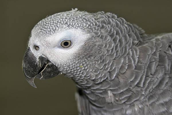 Photograph - African Gray Parrot by Bob Slitzan