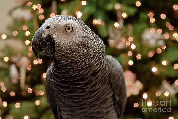 Photograph - African Grey At Christmas by Jill Lang
