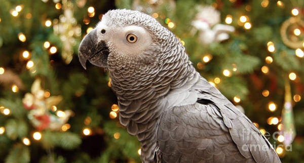 Photograph - African Grey Christmas by Jill Lang