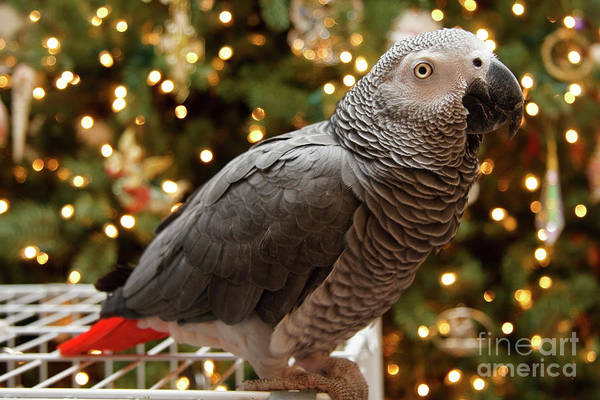 Photograph - African Grey Parrot Christmas by Jill Lang