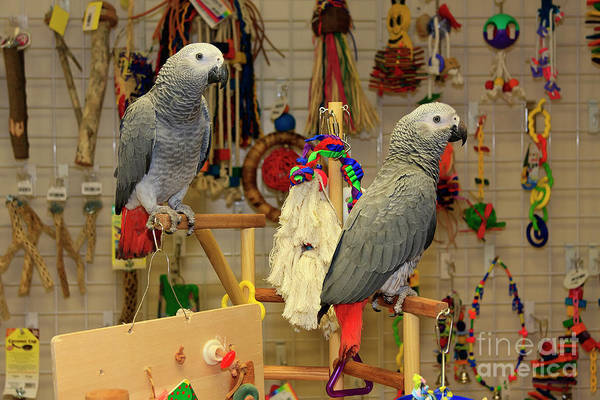 Photograph - African Grey Parrots by Jill Lang