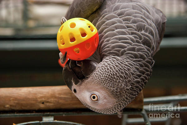 Photograph - African Grey With Ball by Jill Lang
