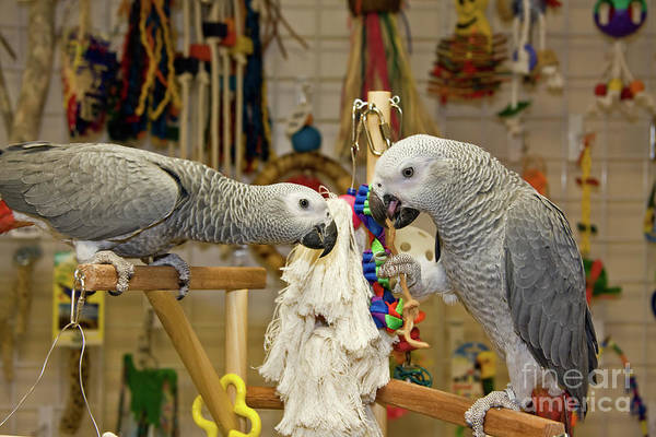 Photograph - African Greys by Jill Lang