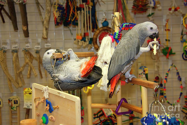 Photograph - African Greys Playing by Jill Lang