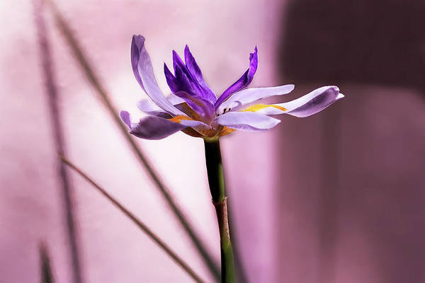 Photograph - African Iris In Mauve by Kay Brewer