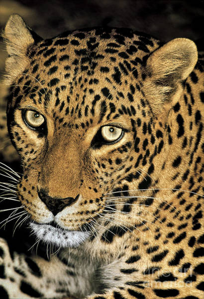 Photograph - African Leopard Panthera Pardus Captive Wildlife Rescue by Dave Welling