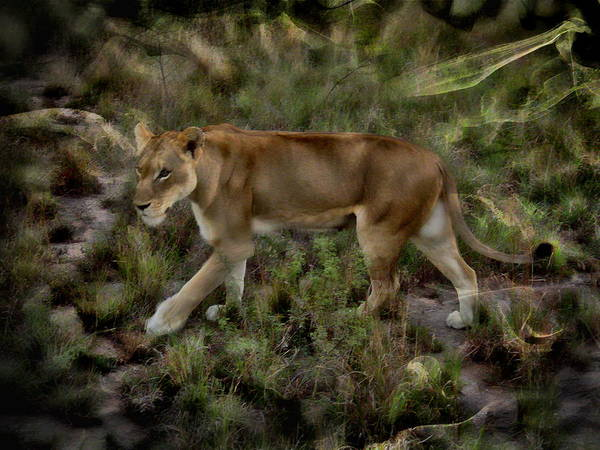 Photograph - African Lion by Anthony Dezenzio