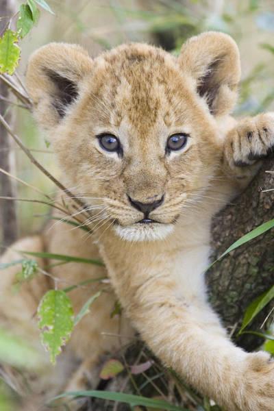 Photograph - African Lion Cub Kenya by Suzi Eszterhas