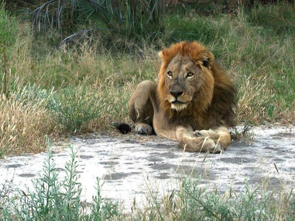 Photograph - African Lion by Karen Zuk Rosenblatt