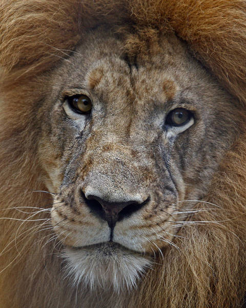 Photograph - African Lion by Larry Linton