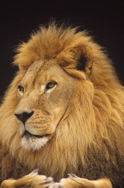 Photograph - African Lion Panthera Leo Male by Gerry Ellis
